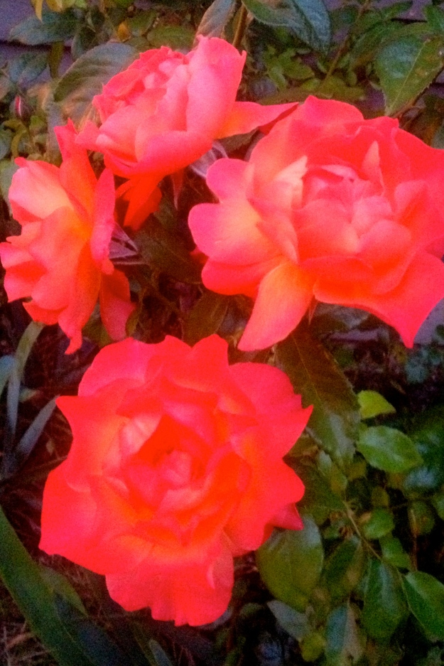Day Glo Rose