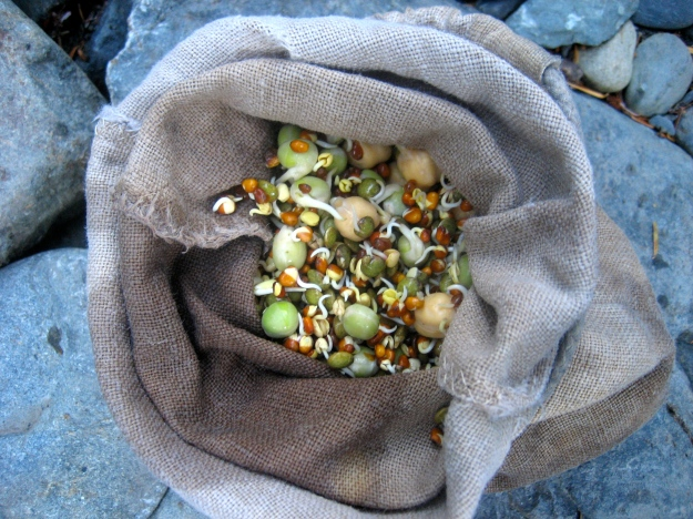 Sprouts after 3 days in the Outdoor Herbivore hemp sprouting bag