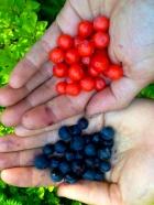 Huckleberries in the Olympics